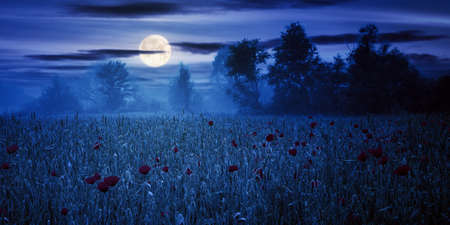 poppy flowers among the wheat field at night. beautiful rural scenery in fog. trees blurred in the distance. clouds on the sky in full moon light Stock Photo