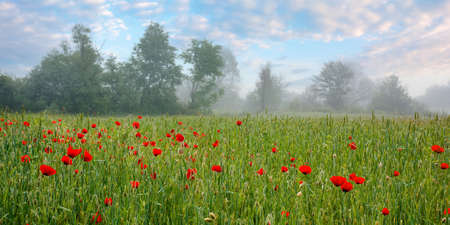 red poppy flowers among the green wheat field. beautiful rural scenery at foggy sunrise. trees blurred in the distance. clouds on the sky in morning light Stock Photo