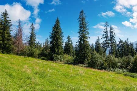 spruce forest on the grassy hillside meadow. beautiful nature scenery in mountains. summer landscape with fluffy clouds on the blue sky above the distant ridge. explore backcountry concept