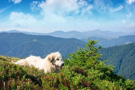 carpathian shepherd dog. good old friend take a rest. pet in nature. distant mountain scenery in morning light