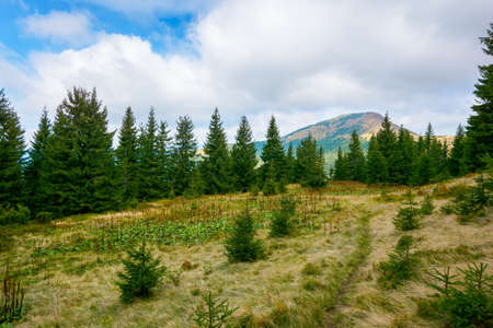 mountain landscape with forest in autumn. beautiful nature background in the morning. wonderful view with peak in the distance beneath a cloudy sky. spruce trees and meadow on the hill Stock Photo