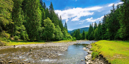 summer landscape with mountain river. water flows down the valley among grassy shore with stones and spruce forest. sunny weather with clouds on the sky