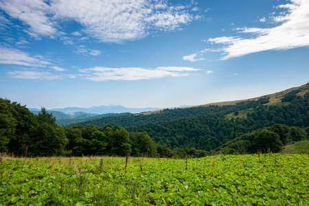 beautiful ukrainian countryside with green meadows and hills under blue sky. trees on the hill