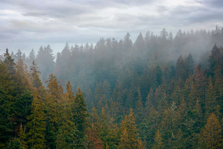 coniferous forest on a foggy day. green nature background with autumnal grey sky. mysterious atmosphere Stock Photo