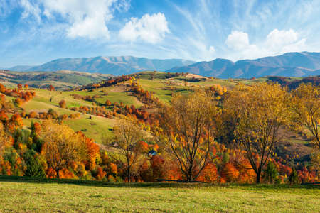 countryside autumn landscape. beautiful rural scenery in afternoon. trees in colorful foliage on green grassy hills. sunny weather with fluffy clouds on the blue sky