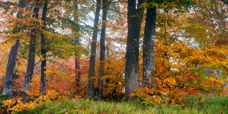 autumn forest on a misty morning. beech trees in colorful foliage. beautiful nature background. rainy weather Stock Photo