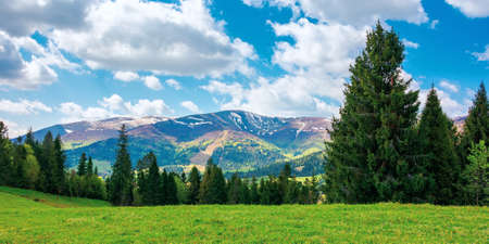 spruce trees on the grassy meadow. wonderful rural landscape in spring. snow capped mountains in the distance beneath a clouds on the blue sky. sunny weather Stock Photo