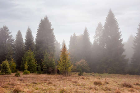 spruce forest on the hill at foggy sunrise. weathered yellow grass on the meadow. mysterious atmosphere in autumn season