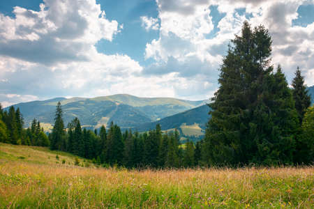 mountain landscape with meadow and forest. beautiful countryside scenery in summertime. coniferous trees on the grassy slope. bright sunny weather with cloudy afternoon sky Stock Photo