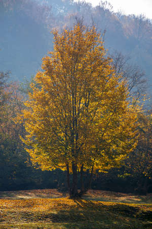tree in golden fall foliage on the meadow. beautiful nature scenenry in morning light