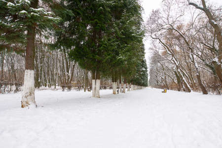 city park on a cloudy winter day. row of coniferous trees along the pathway