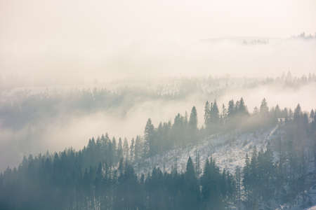 morning mist in wintertime. coniferous forest on the rolling hills in fog. gorgeous nature scenery at sunrise
