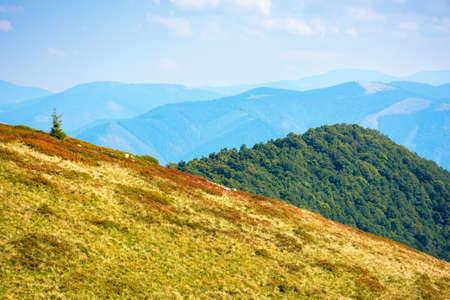 grassy meadows of carpathian mountains on a sunny autumn day. beautiful landscape of polonyna krasna ridge, ukraine Stock Photo