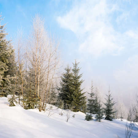 forest on the hill on frosty morning in winter. beautiful white season nature background