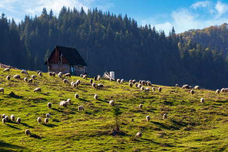 flock grazing on the grassy meadow. shepherd shed on the hill near the forest. apuseni natural park, romania