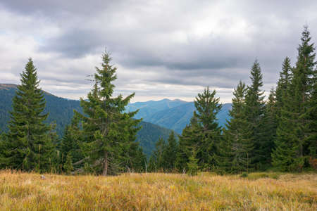 coniferous trees on the meadow. beautiful mountain landscape of synevyr national park, ukraine. green environment of carpathian mountains in early autumn season