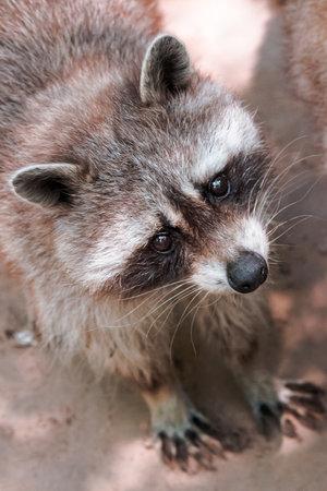 raccoon curiously looking. cute little animal