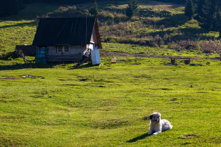 cute sheepdog near the shepherds shed. white animal laying on the grass