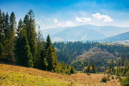 mountain landscape with spruce forest in autumn. trees on the grassy rolling hills. distant ridge in haze. bright nature scenery at high noon with fluffy clouds on the sky Stock Photo