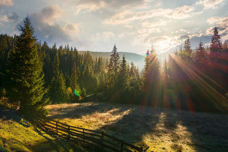 coniferous forest at sunrise. beautiful nature scenery of apuseni natural park, romania. sunny outdoor background