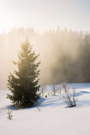 tree on the snow covered hill. winter scene with mist glowing morning light. coniferous forest in the distance