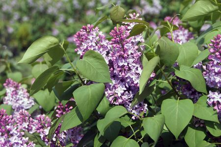 airiness: WhiteViolet lilacs and lush green leaves as background for spring themes