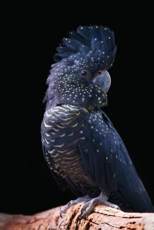 black cockatoo on a perch