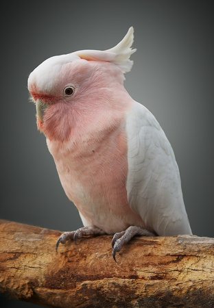 Major Mitchell cockatoo on a perch photo