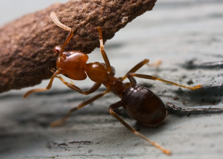 Ant lifting a piece of bark Stock Photo