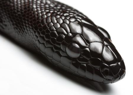 juvenile black headed python up close