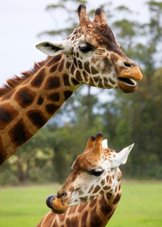 Mother and child giraffe Stock Photo - 14737325