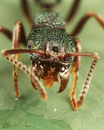 mandible: Green ant with mandible wide open