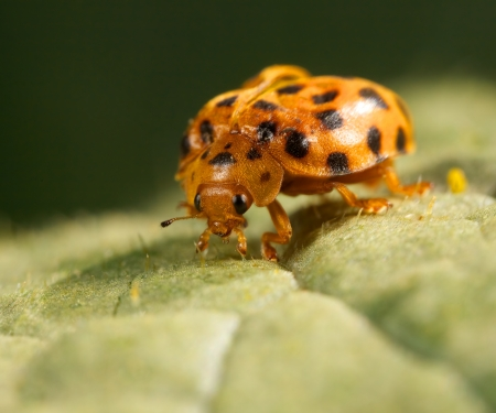 lady beetle: an orange lady beetle feeding on a green leaf Stock Photo