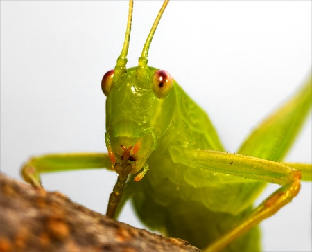 katydid with red gesture Stock Photo - 15596031