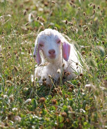 mohair: An Angora goat kid, only a few days old, lying in the grass
