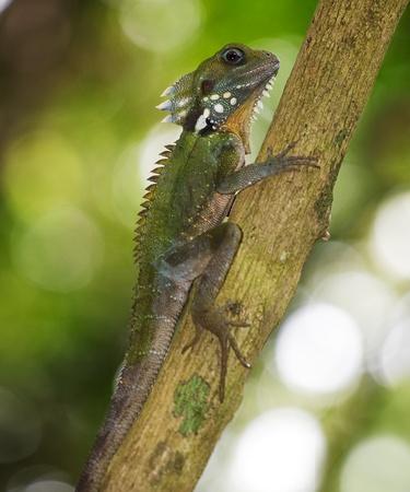 lizard in field: Este drag�n es end�mica de las zonas de influencia de Cairns Foto de archivo