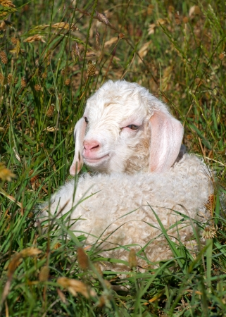 mohair: a single kid lying in the grass