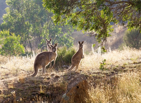 kangaroos in the morning sun photo