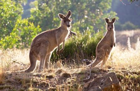 animal pouch: three kangaroos feeding at sunrise