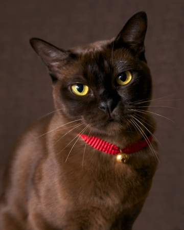 a burmese cat on a brown background Stock Photo