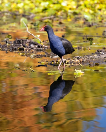 waterfowl: A waterfowl wading through a pond, with its reflection seen in the water