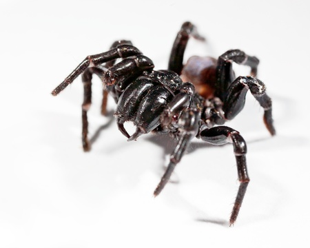 spiders: a funnel web spider rearing up Stock Photo