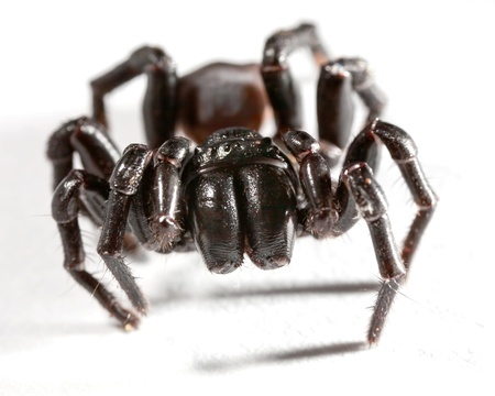 a funnel web spider on white Banque d'images