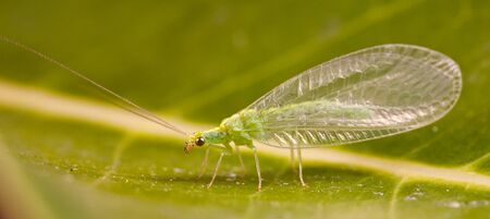 lacewing: A Golden Eye Lacewing (Mallada traviatus) sitting on a leaf