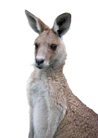 roo: a eastern grey kangaroo on white background Stock Photo