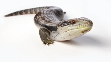 a blue tongue lizard on a white background Stock Photo