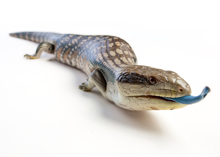 animal tongue: a blue tongue lizard poking its tongue out on a white background Stock Photo