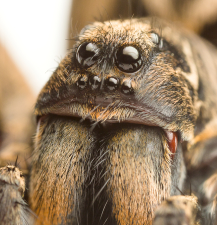 an extreme closeup of a wolf spider Stock Photo