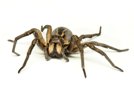 wood spider: a wolf spider isolated on a white background Stock Photo
