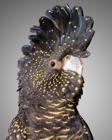 a portrait of a red tailed  black cockatoo
